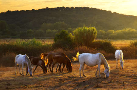 White and brown horses pasturing in the countryside at sunset Stock Photo