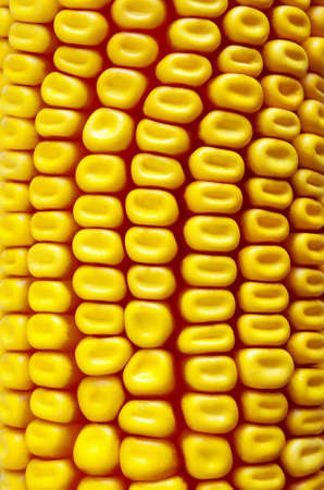 Background close-up of a fresh yellow corn cob photo