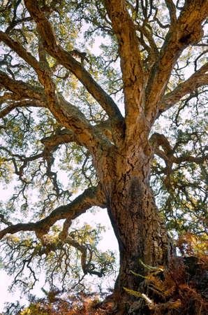 corcho: Alcornoque centenario con gran tronco y corteza gruesa y