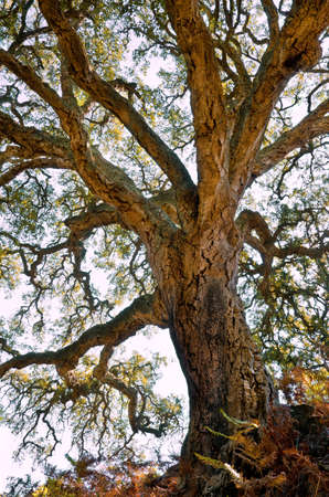 Centenarian cork tree with large trunk and and thick bark Stock Photo