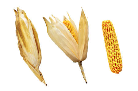 Three phases of removing the husk from a mature corn cob photo