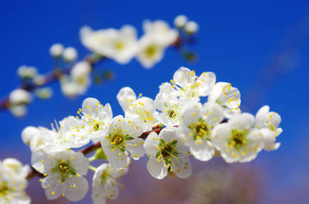 Detail of blossomed almond tree branch with white flowers against deep blue sky photo