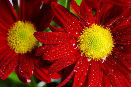 gerber: Bouquet of fresh wild red flowers with water drops