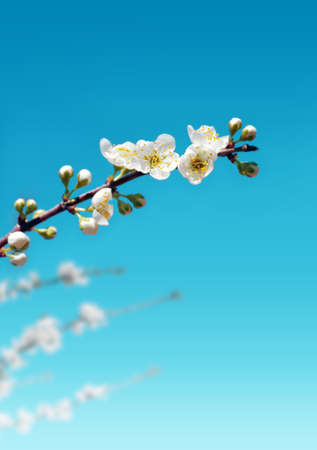Blossomed almond tree branch with white flowers against deep blue sky  photo
