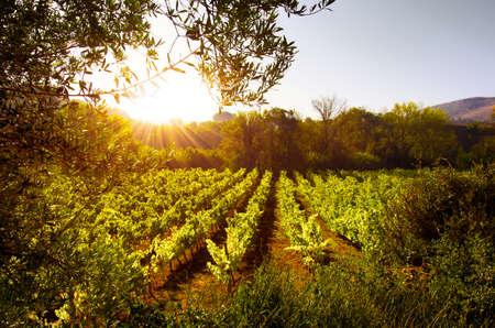Beautiful rural landscape with bright green vine cultures under a bright sunlight Standard-Bild