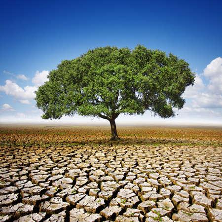 arboles secos: Único olivo plantado en el centro de una tierra seca y agrietada