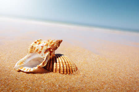 conch: A sea shell and a conch laying in the golden sand of a beach