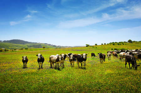 Beautiful rural landscape with vast green field and a herd of cows pasturing photo