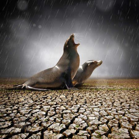 Two seals under heavy rain feeling relief after a severe drought Archivio Fotografico