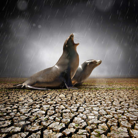 global warming: Two seals under heavy rain feeling relief after a severe drought Stock Photo