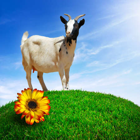 A white goat pasturing in a green grass hill with a yellow flower under bright blue sky photo