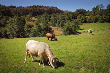 Countriside landscape with bovine cattle pasturing in a green field photo