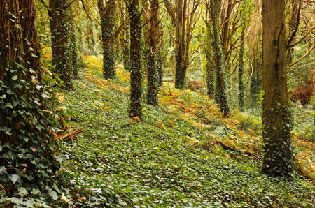 Landscape in a deep forest with fallen leaves, ivy and moss in the Fall photo