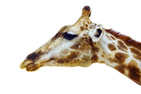 profile of giraffe head isolated in white background Stock Photo