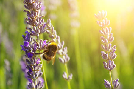 Blooming lavender and a bee under Springtime sunlight