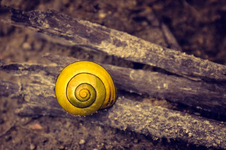 cagey: Closup on a little yellow snail shell on brown dirt