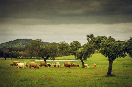 Cows pasturing in a grassland with a lake and olive trees. photo