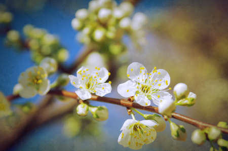 almond bud: Almond tree branch with white flowers against blue sky