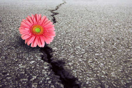 Pink Gerbera  growing on crack in old asphalt pavement