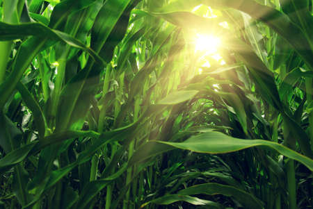 View from inside a corn field with bright sunlight Stock Photo