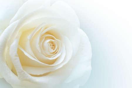 Close-up van een enkele witte roos op duidelijke witte achtergrond
