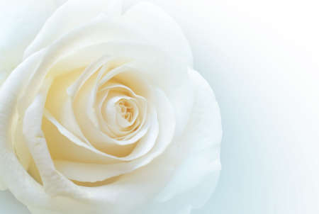 Closeup of a single white rose on clear white background Archivio Fotografico