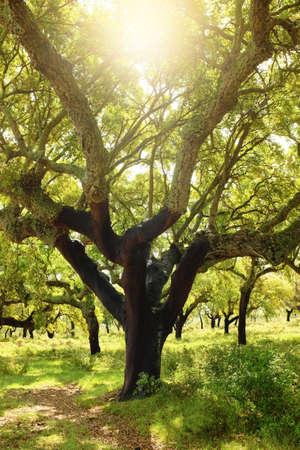tree vertical: Large cork tree field under bright sunlight Stock Photo