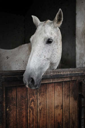 mare: White mare from portuguese Alter Real breed Stock Photo