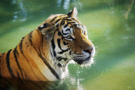 heavy risk: Detail of a tiger - panthera tigris - bathing in a refreshing water Stock Photo