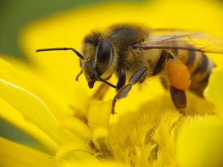 abeja: Abeja recoge el polen en una flor amarilla Foto de archivo