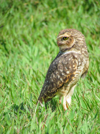 Burrowing owl standing on green grass looking back