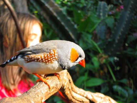 conservatory: Zebra Finch