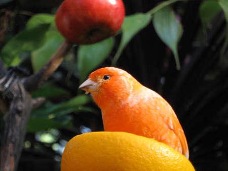 conservatory: Canary Stock Photo