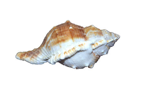 sea shell isolated on white background Stock Photo - 13004559