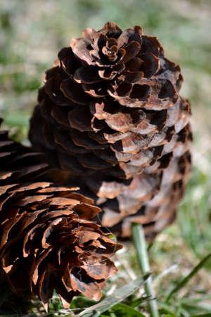 Conos de pino aislados en el c�sped