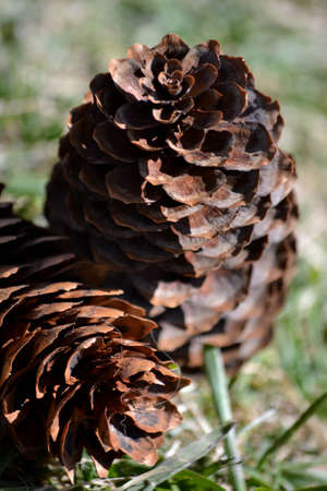 Pine cones isolated on grass