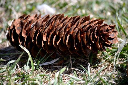 Cono de pino aislado en el c�sped
