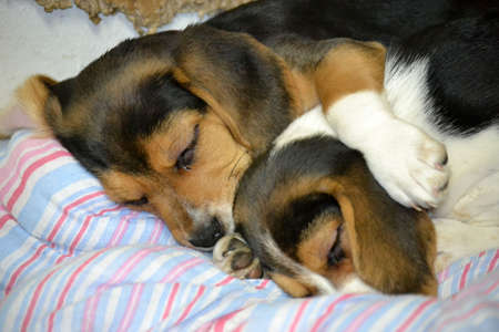 Two beagle puppies cuddled up sleeping