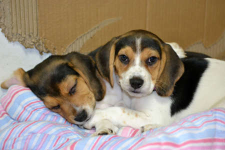 Beagle puppies cuddled up Stock Photo