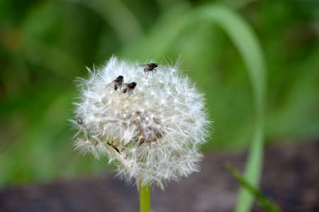 Dandelion seeds with flies Stock Photo