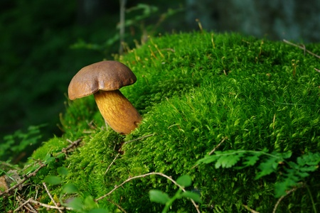 Mushroom on the moss photo