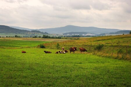 Herd of cows on fresh meadow Stock Photo - 8914916