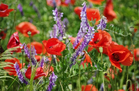 flowered: Flowered meadow for background with poppy flowers