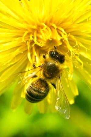 민들레 꽃에 일하는 꿀벌