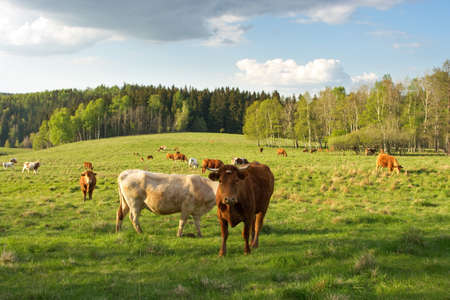 Cows on the green pasture photo