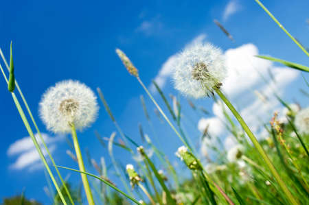 Dandelions on the meadow and blue sky photo