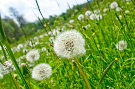 Dandelions on the green meadow photo