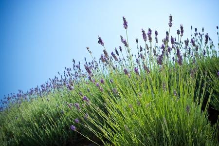 Lavender plant Stockfoto