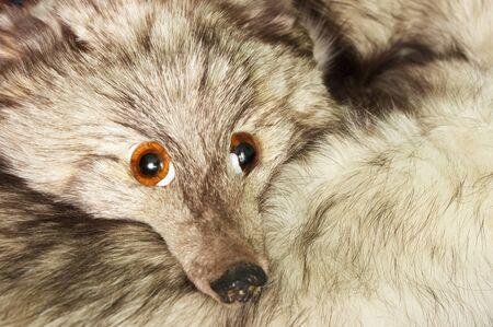 Fox shawl with fake eyes Stock Photo