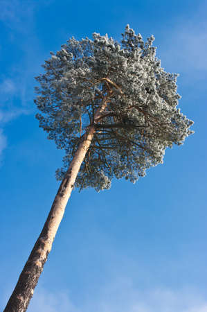 Lonely tree and blue sky during the winter photo